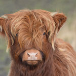Jonge Schotse Hooglander - NP Lauwersmeer