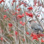 Pestvogel - Lauwersoog