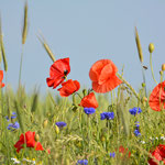 Ingezaaide bloemenrand langs koren - Doodstil