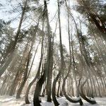Rez. Krzywy Las, okolice Gryfina (woj. zachodniopomorskie)
