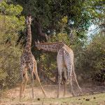 Vechtende giraffen, Kruger National Park