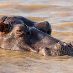 Nijlpaard, Isimangaliso Wetland Park