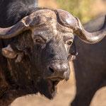 Kaapse buffel, Kruger National Park