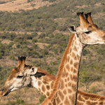 Giraffen, Ithala Game Reserve