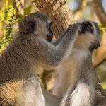 Blauwaapjes, Ithala Game Reserve