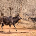 Nyala, mannetje, Hlane Game Reserve, Swaziland