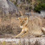 Leeuwin, Kruger National Park