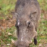 Wrattenzwijn, Kruger National Park