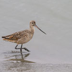 Marbled Godwit (Grutto)