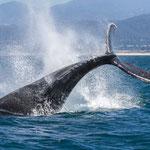 Bultrugwalvis, Monterey Bay