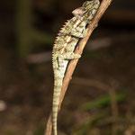 Nose-horned kameleon