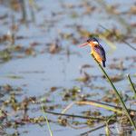 Kleine Gekuifde IJsvogel, Kruger National Park
