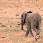 Jonge Afrikaanse olifant, Kruger National Park