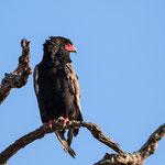 Bateleur, Kruger National Park
