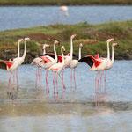Kleine flamingo's