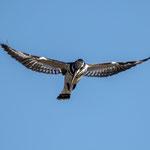Bonte IJsvogel, Kruger National Park