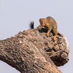 Mangoeste, Kruger National Park