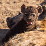 Gevlekte hyena met jong, Kruger National Park