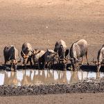 Gnoes, Hlane Game Reserve, Swaziland