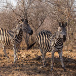 Zebra's, Kruger National Park