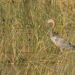 Reuzenreiger, Isimangaliso Wetland Park