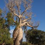 Baobab 'Amoureux'
