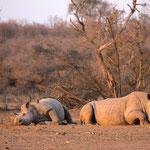 Witte neushoorns, Hlane Game Reserve, Swaziland