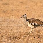 Koritrap, Kruger National Park