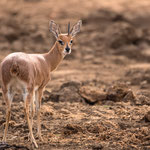 Steenbok, mannetje, Kruger National Park