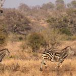 Rennende zebra's, Kruger National Park