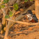 Afikaanse Reuzenijsvogel, Isimangaliso Wetland Park
