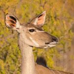Koedoe, vrouwtje, Kruger National Park