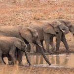 Afrikaanse olifanten, Kruger National Park