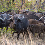 Kaapse buffels, Kruger National Park