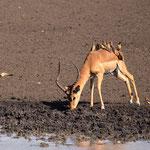 Impala, Hlane Game Reserve, Swaziland