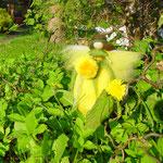 Taraxacum: macht Wiesen gelb