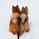 Luna und Alaska im Zuggeschirr