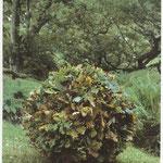 Andy Goldsworthy, Grand chêne abattu utilisé les feuilles encore attachée pour fixer la structure à l'intérieur de la boule, 1985