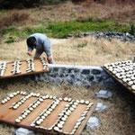 みかんの木の乾燥具合を点検する