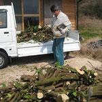 改植のため伐採されたみかんの木を確保