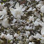 Die Blütenpracht ist in der milden Rheinebene schon weiter fortgeschritten als zuhause