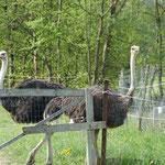 An unserem Übernachtungsplatz, der Vila Lulu in Vatra Moldevidei, gibt es auch einige große Laufvögel