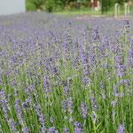 Und der Lavendel blühlt ;)))))