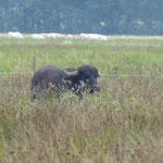 Wasserbüffel haben hier ein neues Zuhause gefunden