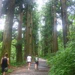 Die schattiges Zedernallee führt uns von Hakone-machi nach Moto-Hakone