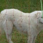 Ein Herdenschutzhund im Dienst. Hier bewachen zwei der weißen Riesen eine Schafherde