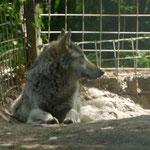 Ein Wolf, der von Privatleuten als Hund gehalten wurde, fand hier ebenfalls Unterschlupf