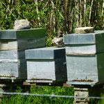 Bei sonnigem Wetter herrscht im Bienenstock emsiges Treiben