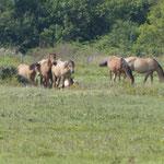 ... die Henson-Pferde sind hier zu beobachten.