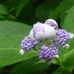 Die Hortensien blühen hier in mannshohen Büschen